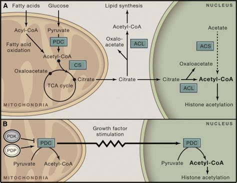 A Mitochondrial Expatriate: Nuclear Pyruvate Dehydrogenase