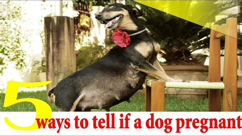 5 Ways to Tell if a Dog Is Pregnant ! dog pregnancy