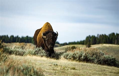 California woman hospitalized after bison attacks her at